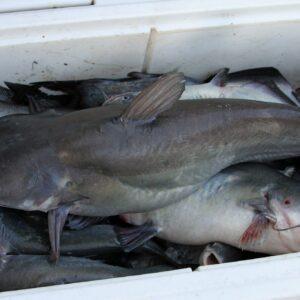 Alabama River cats 18 64 300x300 - SEAFOOD