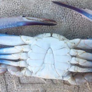 Blue Crab 12 300x300 - SEAFOOD