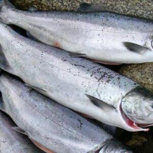 coho salmon 01 300x300 - SEAFOOD